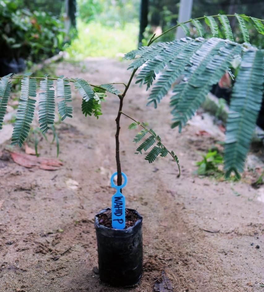 Adopsi bibit pohon